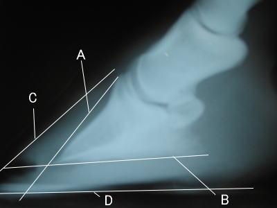 葉状層の剥離が大規模で起きた場合。蹄骨をぶら下げ固定する力が弱くなってしまいます。 そうなると屈